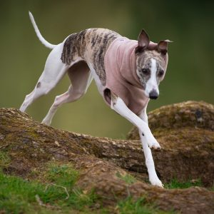 Fleece Snood for Whippets in Camel (Limited Edition)