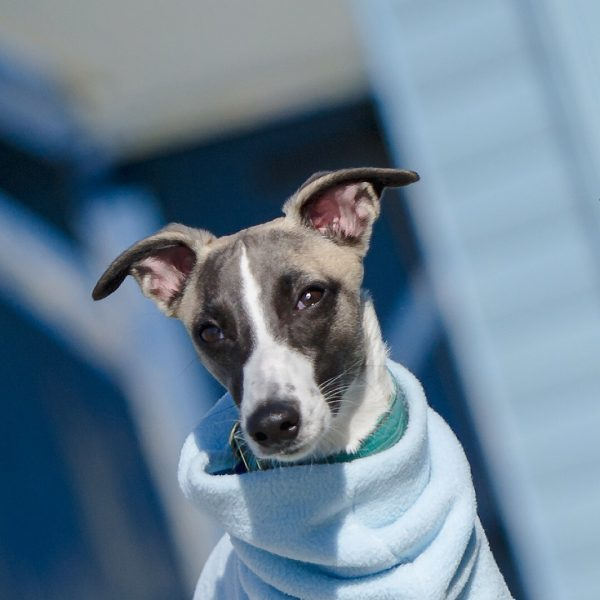 Baby Blue Fleece Snood for Whippets