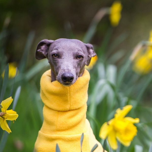 Snood for Whippets in Yellow